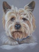 Yorkshire terrier pet portrait from photo