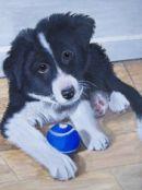 Collie pup pet portrait from photo