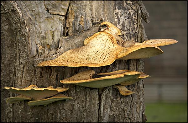 Saddle Fungus