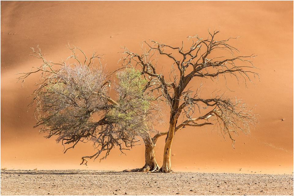 Camelthorn trees, Namib desert