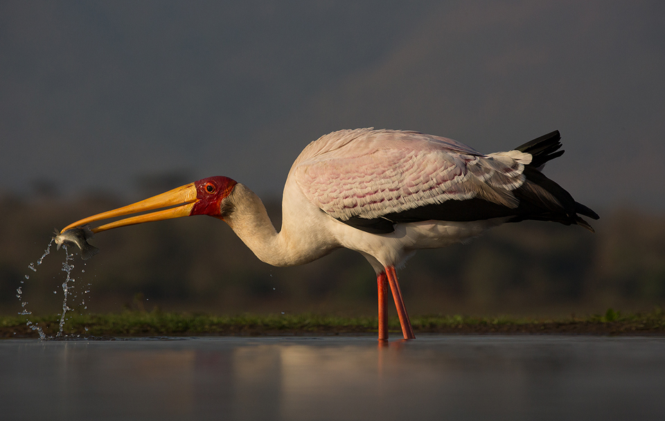 Yellowbilled Stork with Fish