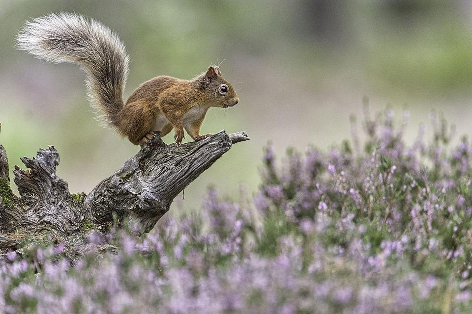 Alert Red Squirrel