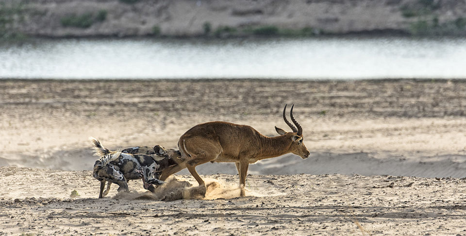 African Wild Dogs Attacking Puku