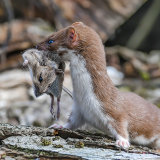 Weasel with Mouse