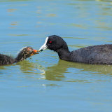 Adult Coot Feeding Young