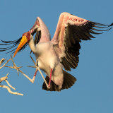 Yellowbilled Stork Landing