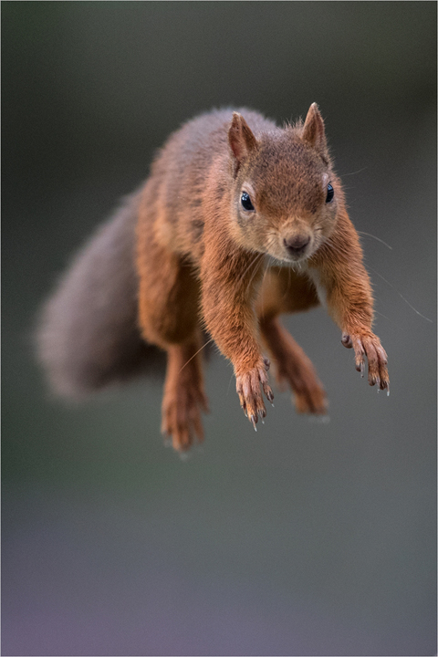 Red Squirrel Jumping in Heather