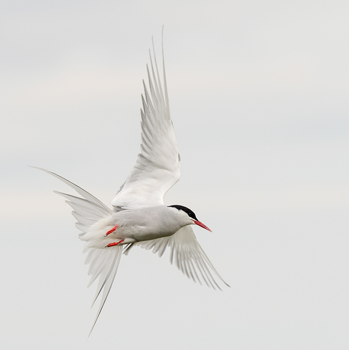 Arctic Tern Manoeuvering