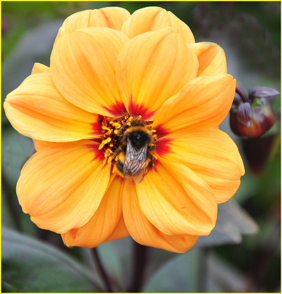 Bumblebee feeding on House of Orange Dahlia