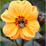 Bumblebee feeding on House of Orange Dahlia