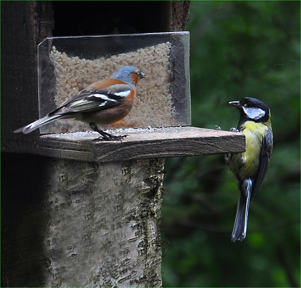 Chaffinch and Great Tit conflict