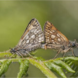 Chequered Skippers Mating