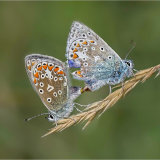 Common Blues Mating