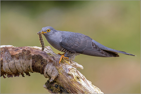 Cuckoo with Caterpillar