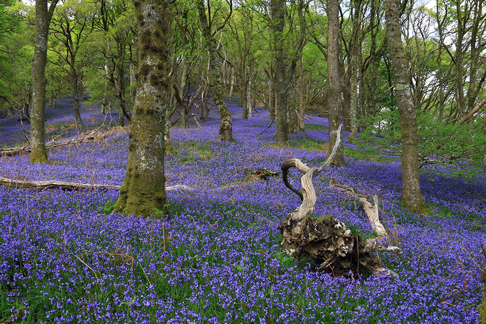 Demon in the Bluebell Wood