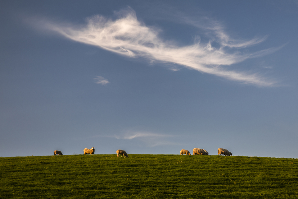 Evening Sheepscape at Bridge of Weir