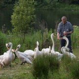 Man Feeding the Swans