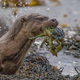 Otter with Green Crab
