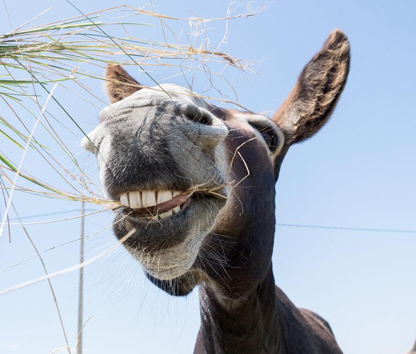 Grinning Donkey