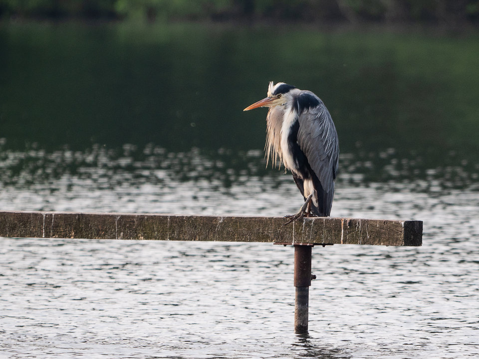 Heron on Perch