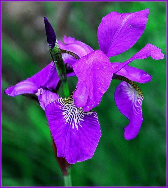 Iris in Walled Garden, Bellahouston Park, Glasgow