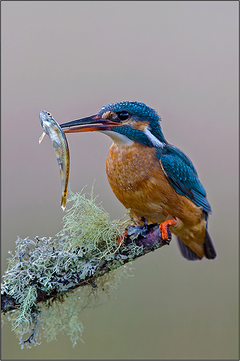 Kingfisher with Minnow