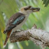 Kookaburra Lunch
