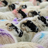 Lewis sheep