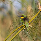 Little Bee Eater on Papyrus