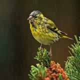 Male Siskin in the Rain