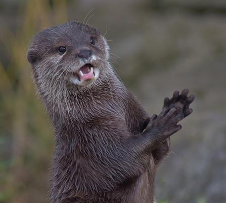 Oriental Short Tailed Otter