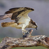 Osprey with Catch