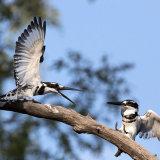 Pied Kingfishers Squabbling