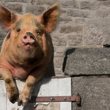Pig Poser