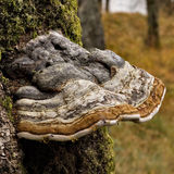 Red Rimmed Bracket Fungus