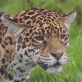 Safari Zoo. Jaguar. Panthera Onca