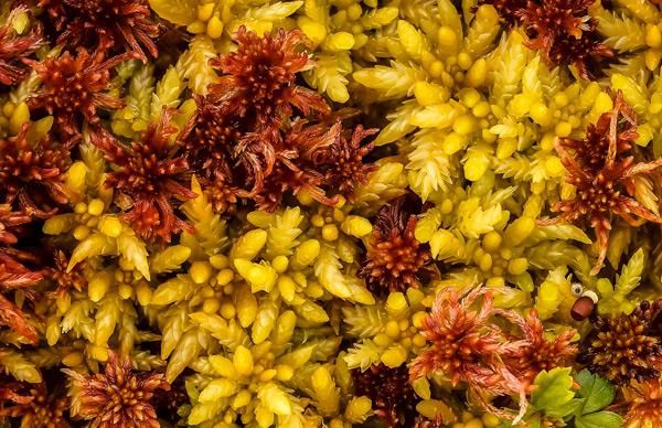 Sphagnum Moss Details