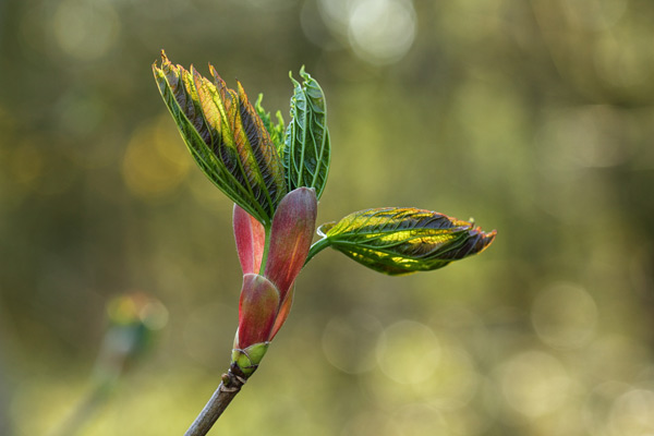 Sycamore in Spring