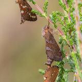 Trio of Gold Swift Moths