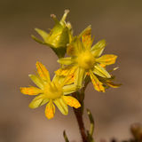 Yellow Mountain Saxifrage