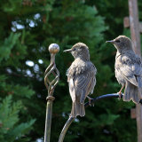 Young Starlings in Pecking Order
