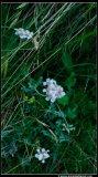 Flower Achillea ambrosiaca