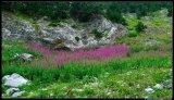 Flower. Epilobium angustifolium