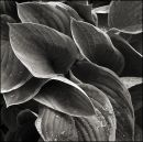 Hosta Leaves. study 1, June 2012
