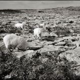 Inis Oirr Sept 2013 Sheep Grazing