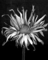 "Sunffower. acrylic on canvas, 10"" x 10"", 2010"