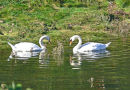SWANS ON THE NEVERN RIVER ESTUARY, NEWPORT