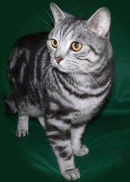 HENRY, MY BLACK AND SILVER SHORTHAIR TABBY CAT