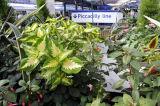 Coleus and Fuchsia