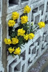 Erysimum Yellow Wallflower